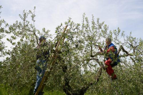Men on the Olive tree for pruning