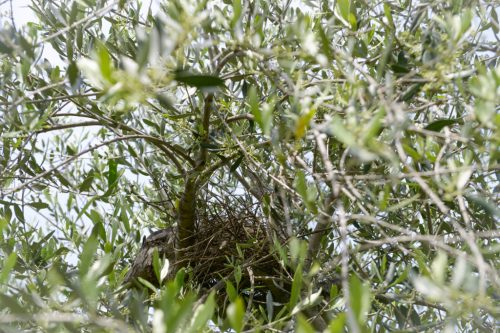 Nest on the Olive tree