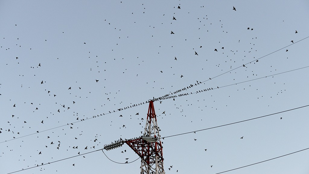 DANCING FLOCK OF STARLINGS PART 2