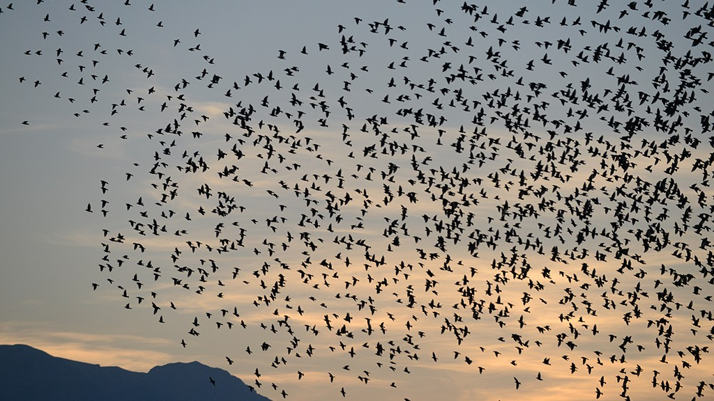 DANCING FLOCK OF STARLINGS PART 2 #2